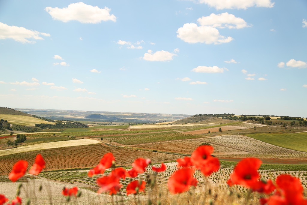 A hilltop view of the rolling vineyards of Ribera del Duero.